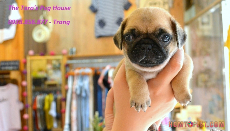 the-taro's-pug-house-hcmtoplist-1